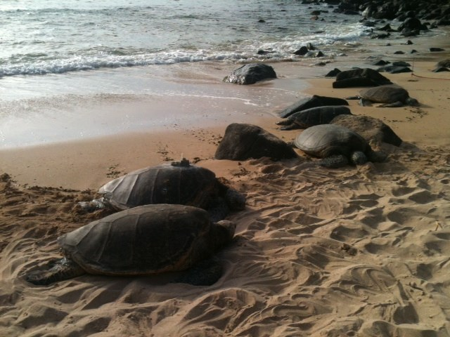 Green sea turtles are federally protected so make sure to stay at least 10 feet away from them