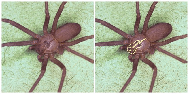 The brown recluse can be identified by the violin-shaped spot behind its eyes.