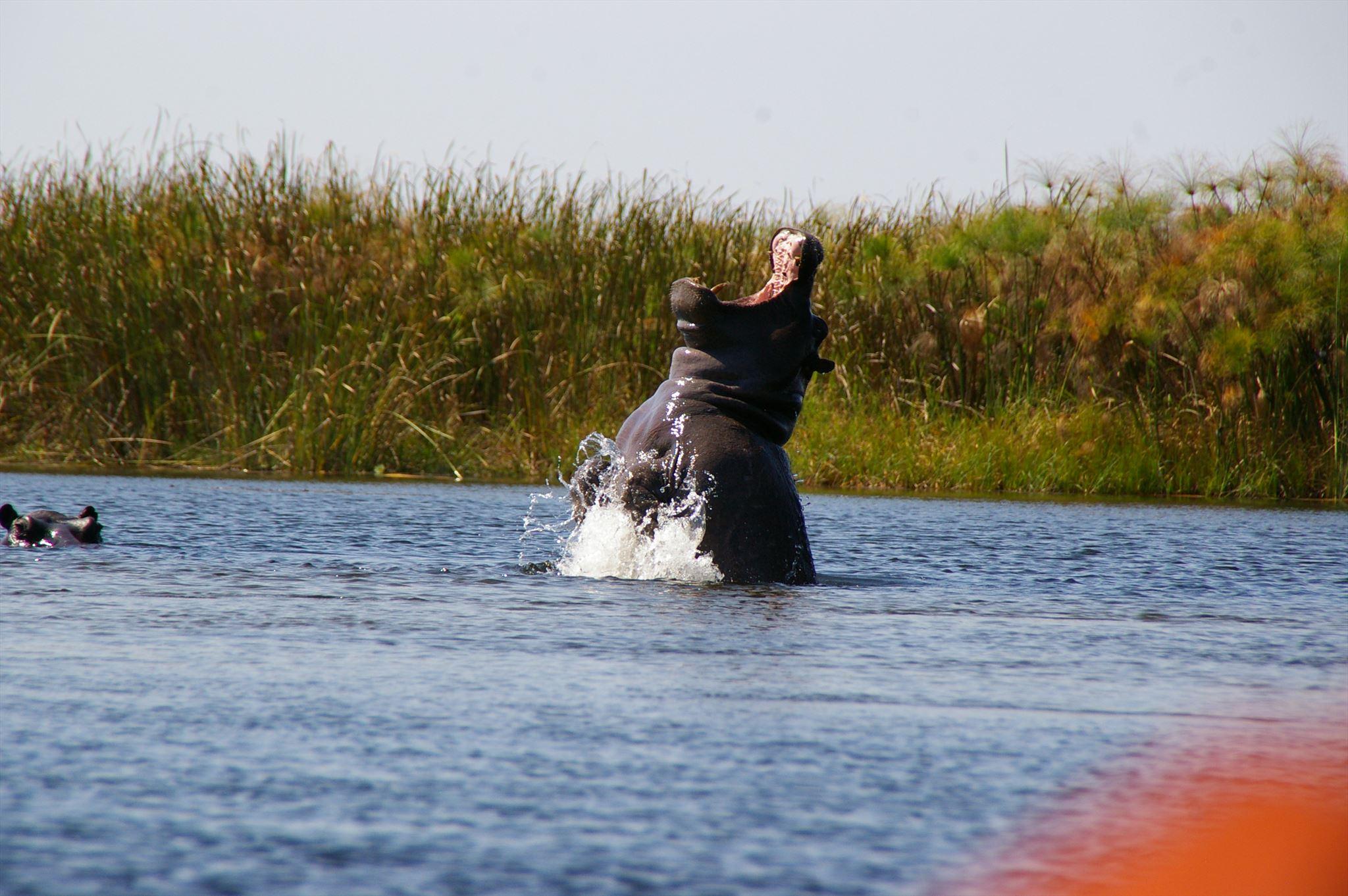 """Hippo says, """"AAaaaaaaaaaaaahhhh...!"""""""