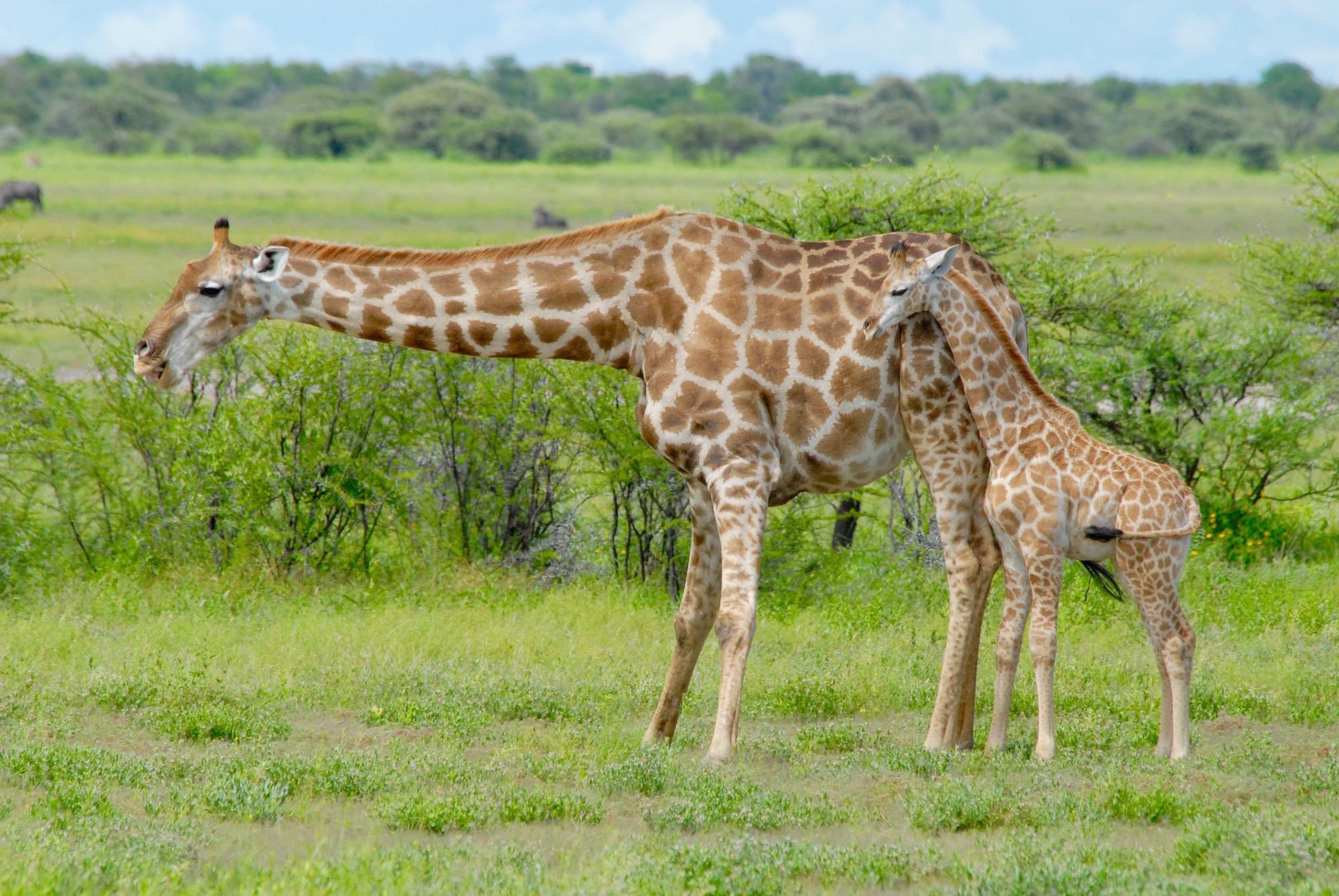 Mommy Giraffe and baby