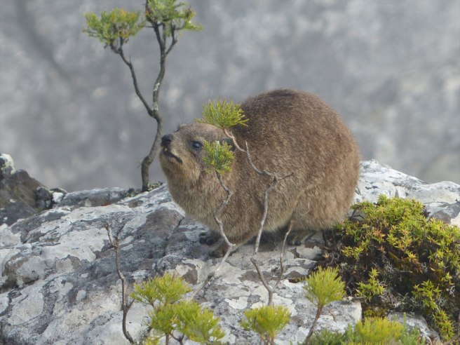 Dassies, or rock hyraxes, are kinda cute