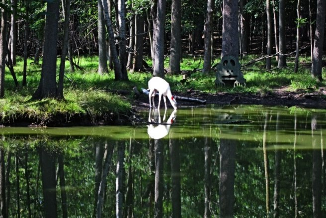 Albino deer drinking water